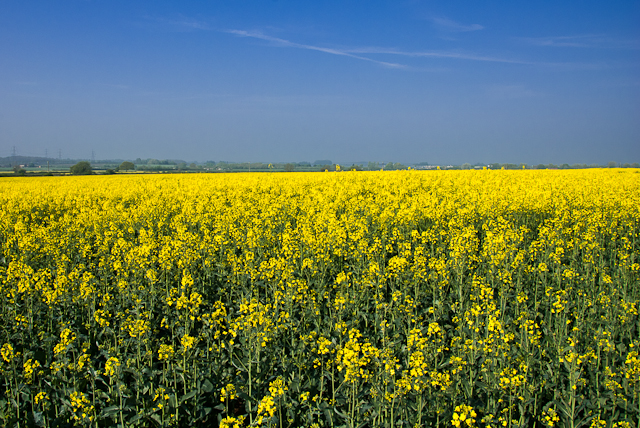 Oxfordshire Fields of Yellow