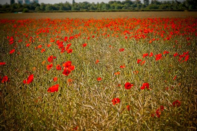 Field of Scarlet