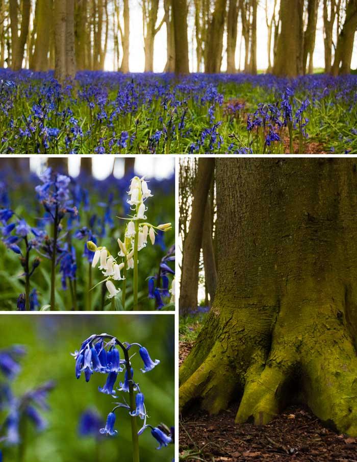 Badbury Clump Bluebells