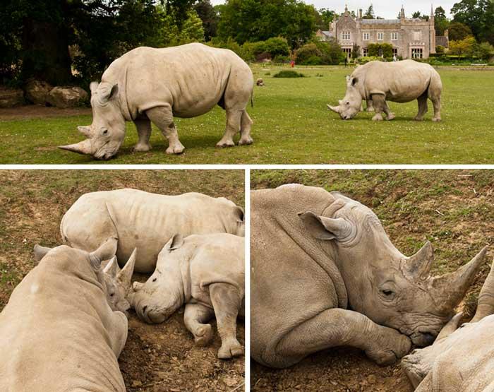 Cotswold Wildlife Park White Rhinos