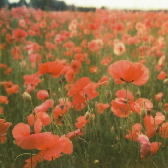 Polaroid Poppies