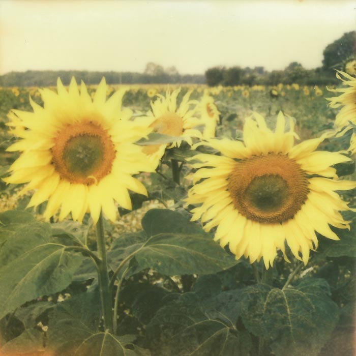 Suffolk Sunflowers