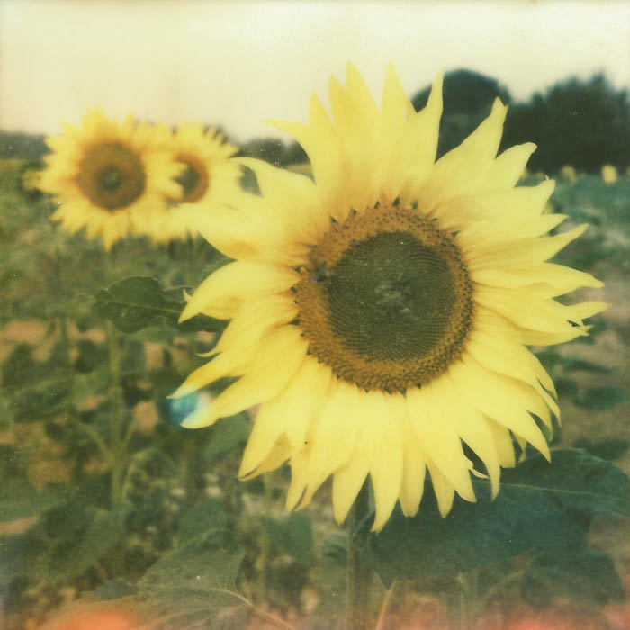 Suffolk Sunflowers