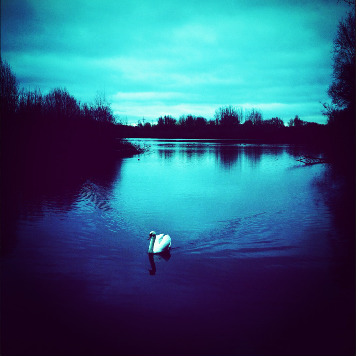 Swan at Thrupp Lake